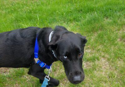 #labradortraining #bigdogtraining #sanfranciscobestdogtrainer
