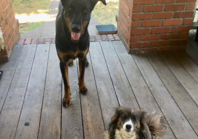 #germanshepherddogtraining #chihuahuamix #dogtrainingmarin