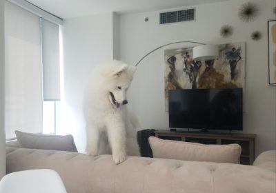 #samoyeddogtraining #lovedogs #dogsofbarkbusters