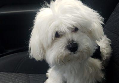 #maltesedogtraining #BarkBustersSanFrancisco