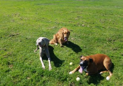 #weimaranerdogtraining #sanfranciscodogtrainrer