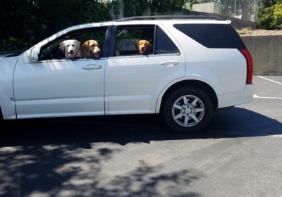 #weimaranerdogtraining #puppytrainingSanFrancisco